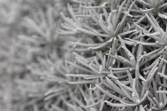 Silver Spikes. Silvery gray spiked plants in garden royalty free stock photography