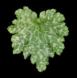 Silver spotted leaf of zucchini Royalty Free Stock Photography