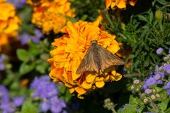 Silver Spotted Skipper Butterfly Royalty Free Stock Photos