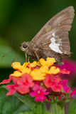 Silver-spotted Skipper Butterfly Stock Image