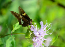 Silver-spotted Skipper Royalty Free Stock Images