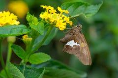 Silver-spotted Skipper Butterfly - Epargyreus clarus. Silver-spotted Skipper Butterfly collecting nector from a yellow Lantana flower. Rosetta McClain Gardens stock image