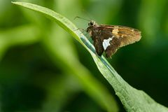 Silver-spotted Skipper Butterfly. Perched on a leaf. Rosetta McClain Gardens, Toronto, Ontario, Canada Stock Image