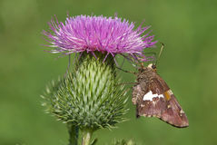 Silver-spotted Skipper Butterfly on Thistle Stock Photos