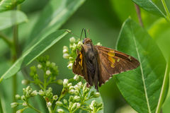 Silver-spotted Skipper Royalty Free Stock Photography