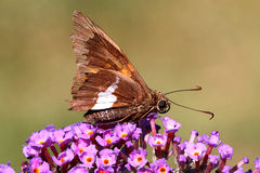Silver-spotted Skipper (Epargyreus clarus) Royalty Free Stock Photo