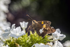 Silver-spotted Skipper,Epargyreus clarus Stock Photos