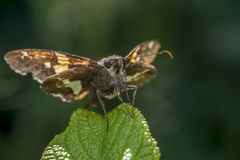 Silver-spotted Skipper,Epargyreus clarus Stock Images