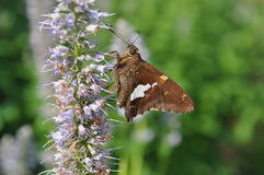 Silver-Spotted Skipper Stock Image
