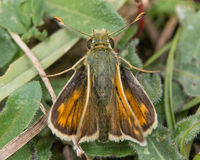 Silver-spotted skipper (Hesperia comma) from above Royalty Free Stock Photo
