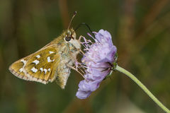 Silver-spotted skipper (Hesperia comma) nectaring on scabious Royalty Free Stock Photography