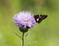 Silver-spotted Skipper on a Milk Thistle Royalty Free Stock Photography
