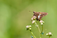 Silver-spotted Skipper. Perched on wildflowers stock images