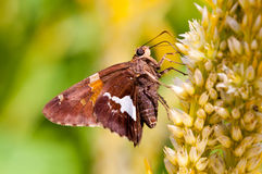 Silver spotted skipper Royalty Free Stock Photos