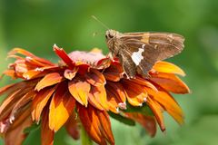 Silver Spotted Skipper. Silver-spotted Skipper Butterfly collecting nectar from an orange flower. Rosetta McClain Gardens, Toronto, Ontario, Canada Royalty Free Stock Image