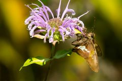 Silver-spotted Skipper. Collecting nectar from a Bergamot flower. Rouge National Urban Park, Toronto, Ontario, Canada Royalty Free Stock Photos