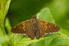 Silver-spotted Skipper royalty free stock photos