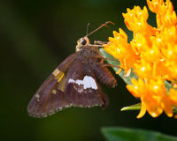 Silver spotted Skipper on Wildflower Royalty Free Stock Image