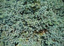 Silver Spruce - background Royalty Free Stock Photo