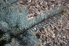 Silver spruce bough. Spruce bough detail in the garden Royalty Free Stock Photo