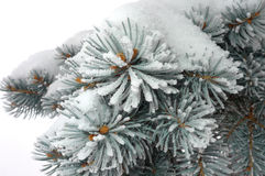 Silver spruce tree covered with snow Royalty Free Stock Image