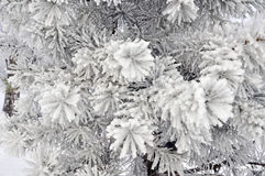 Silver spruce tree covered with snow Stock Images