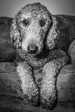 Silver Standard Poodle - Black and White Royalty Free Stock Image