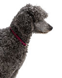 Silver Standard Poodle Outside in the Winter Royalty Free Stock Image