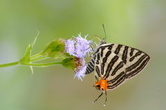 Silver Stripe Butterfly Stock Photos