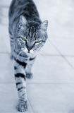Silver striped cat approaching Royalty Free Stock Photography