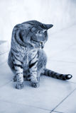 Silver striped cat Stock Photography