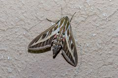 Silver Striped Hawk Moth on a wall royalty free stock images