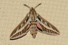 A Silver Striped Hawk Moth or Vine Hawk Moth, rests on the ground Hippotion celerio royalty free stock images