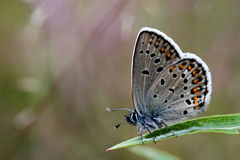 Silver-studded blue Stock Photos