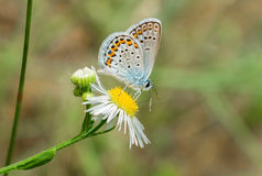 Silver-studded Blue butterfly Royalty Free Stock Photography