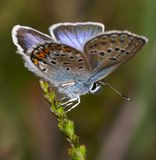 Silver-studded Blue Butterfly Stock Photos