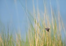 Silver-studded blue butterfly on a haulm of reed. At the waterside royalty free stock image