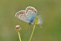 Silver Studded Blue Butterfly Royalty Free Stock Photography