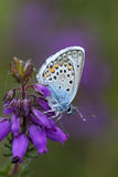 Silver-studded blue butterfly, plebejus argus. On Bell heather Royalty Free Stock Photography