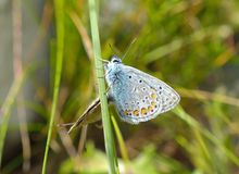 Silver-studded Blue Butterfly - Plebejus argus Stock Photography