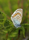 Silver-studded Blue Royalty Free Stock Photography