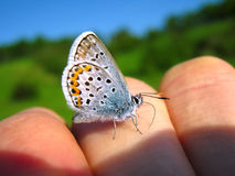 Silver Studded Blue butterfly (Plebejus argus) sitting on men hand in nature, closeup Royalty Free Stock Photo