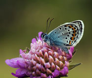 Silver Studded Blue Butterfly on purple flower Royalty Free Stock Images