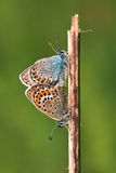 Silver-studded blue (Plebejus argus) Stock Photography