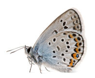 Silver-studded Blue, Plebejus argus. Species of Lepidoptera, called also Hairstreak Butterfly, in front of white background Royalty Free Stock Photos