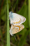 Silver-studded blue - Plebejus argus. The mating butterflies - silver-studded blue - Plebejus argus Stock Photo