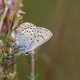 Silver-studded blue (Plebejus argus) butterfly with underside visible Stock Photos