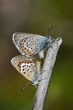 Silver-studded blues. A pair of silver-studded blue (Plebejus argus) butterflies mating Stock Image
