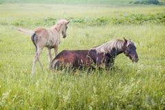 Silver-svart häst med hennes föl Arkivbilder