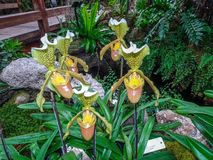Silver sword l.ady slipper rare orchid Royalty Free Stock Image